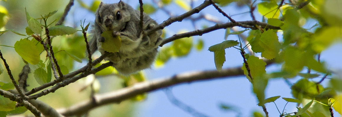 Flying squirrel - Life project